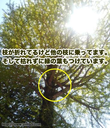 弘妙寺の折れた樹木