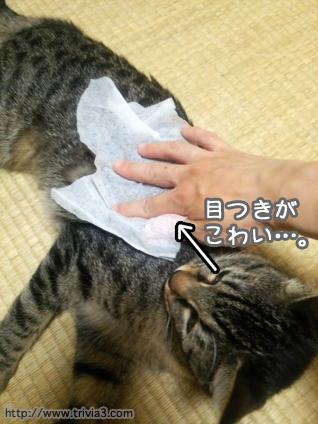 体を拭かれる猫