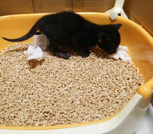 子猫 ニャンとも清潔トイレ