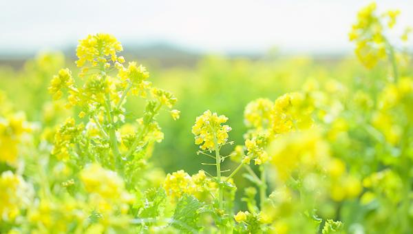 黄色い花が咲き始めた菜の花