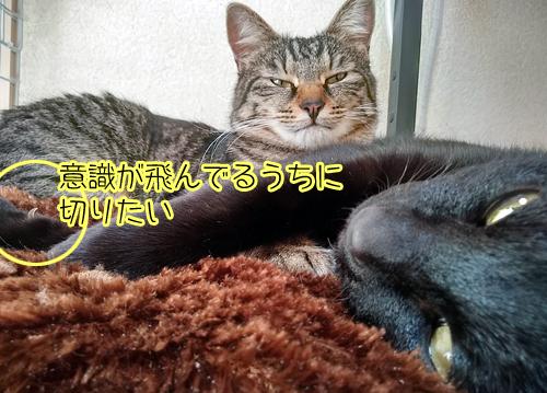 爪切り 猫