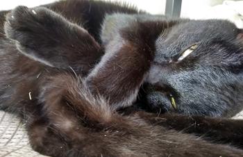 爪切りが嫌いな黒猫