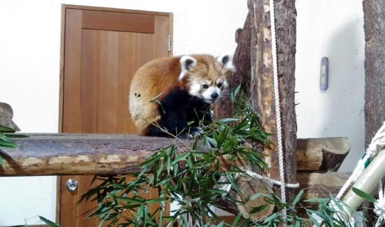 茶臼山動物園のレッサーパンダ